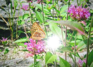 Butterfly on Bee Balm