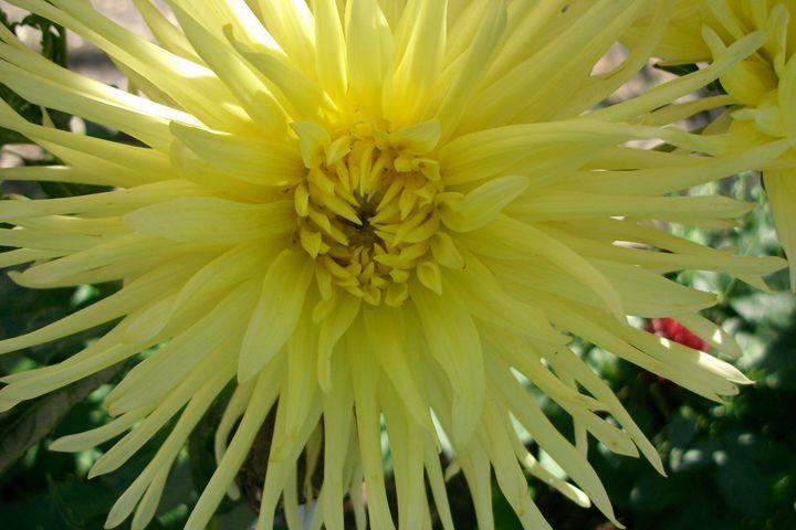 Sun flower - Savina