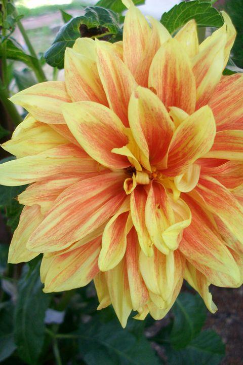 yellow - orange flower 3 - Savina