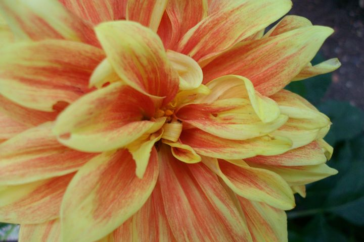 yellow - orange flower - Savina