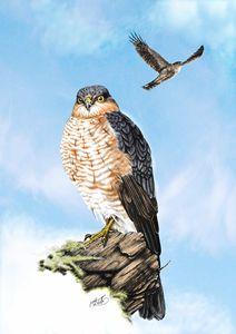 Sparrow-hawks - Mark Collins Art