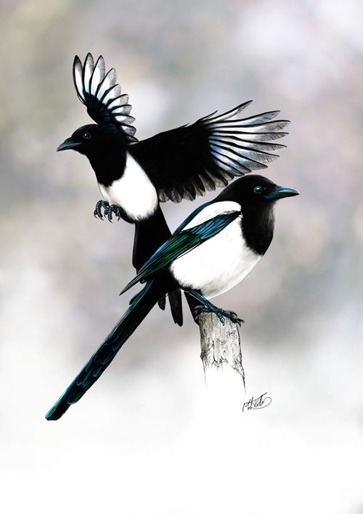 Two For Joy. Magpies. - Mark Collins Art