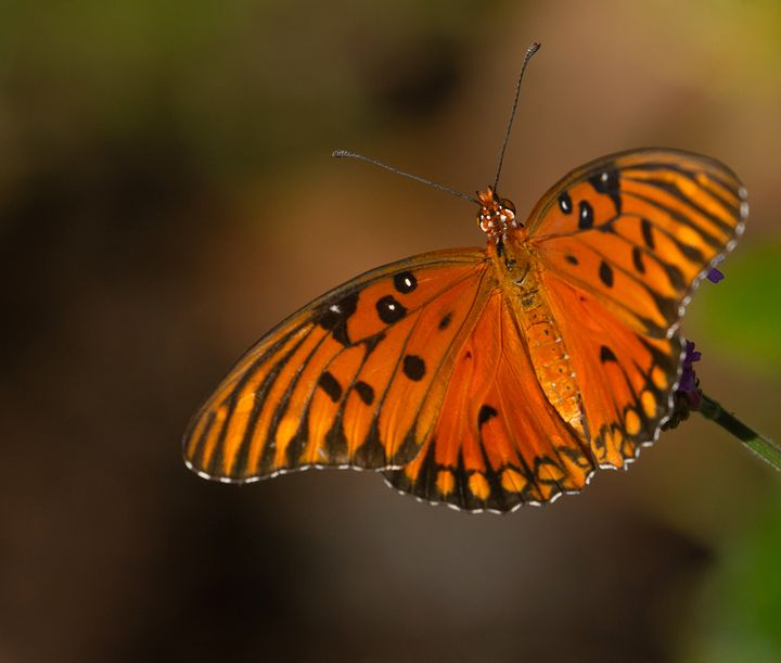 Gulf Fritillary Butterfly Close-up - Ken Donaldson Photographic Artistry