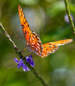 Close-up: Gulf Fritillary Butterfly