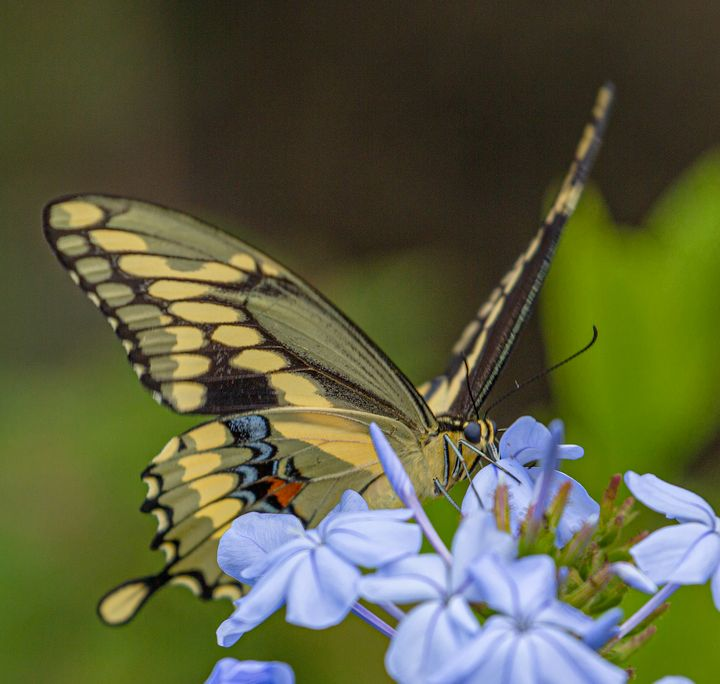 Giant Swallowtail Butterfly - Ken Donaldson Photographic Artistry