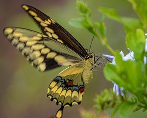 Giant Swallowtail on Plumbago Flower