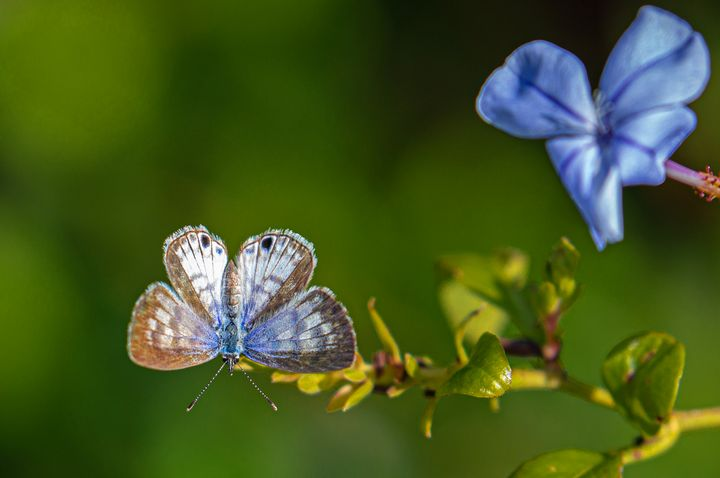 Cassius Blue Butterfly on Plumbago - Ken Donaldson Photographic Artistry