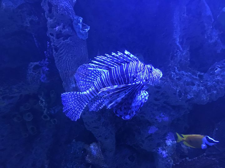 Lion Fish - Saraphim Gates