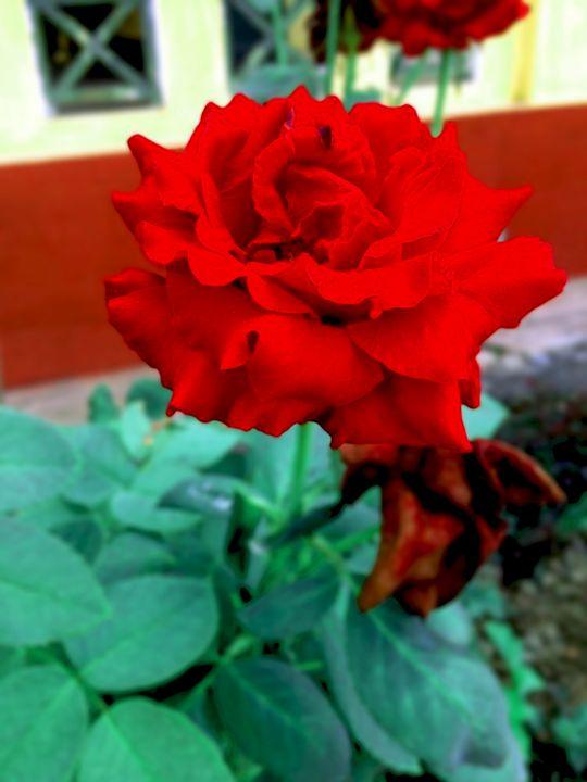 flower - beautiful