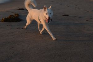 White Wolf on Beach - Ginny Keegan