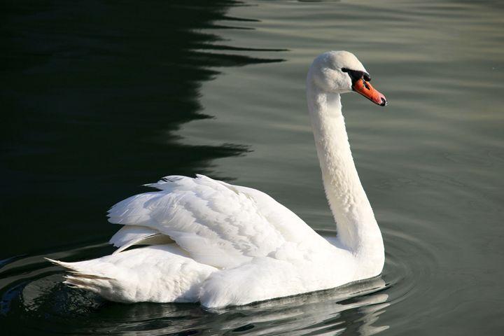 Wild Swan - Alexius Suntiveus