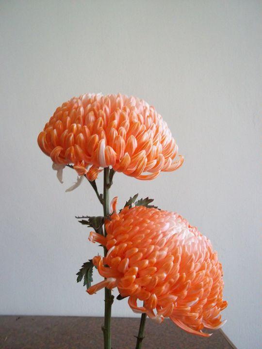 Chrysanthemum - Bingcheng's Works