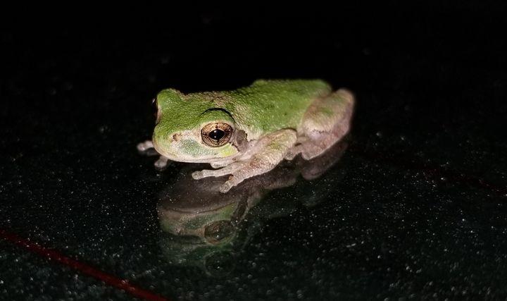 Frog - Springfield