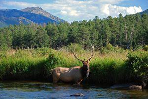 Elk in Mountain Stream
