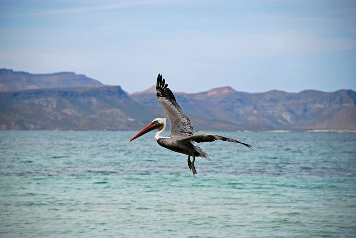 Pelican in Flight - Photography by Brian Florky