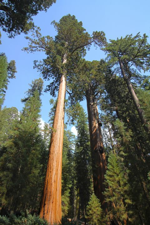 Slender Sequoia - Isaac Stearns