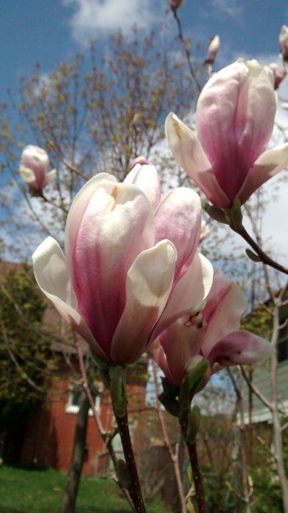 Sunny Magnolia Blossoms - redlightdarkroom