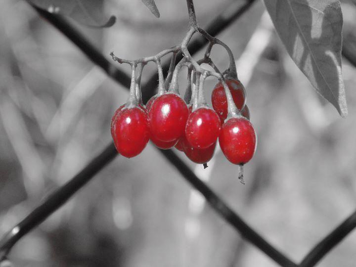Red Berries - redlightdarkroom