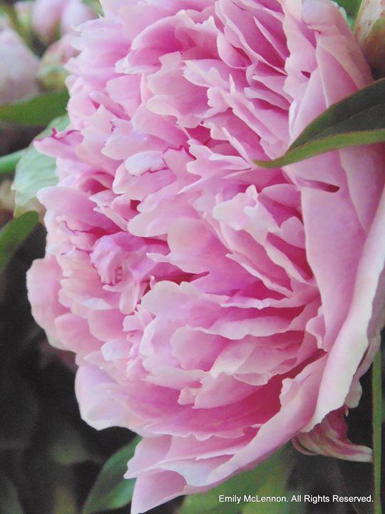 Pretty in Pink II - redlightdarkroom