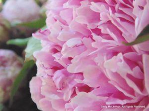 Pink Peony - redlightdarkroom