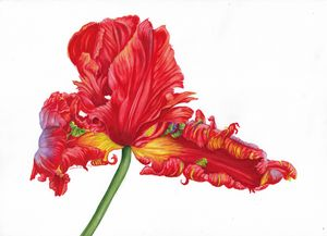 Botanical red tulip watercolour - Gillian McIntosh