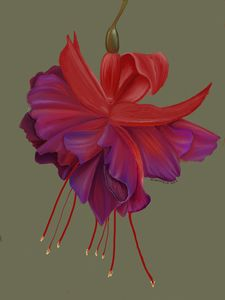 botanical fuchsia