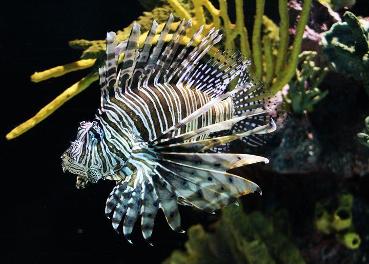 lion fish - Preus Photography