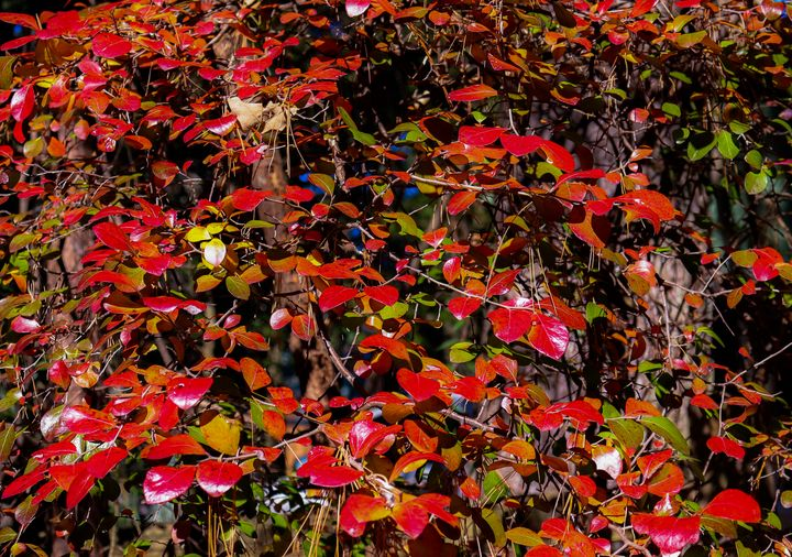 red leaves - Preus Photography