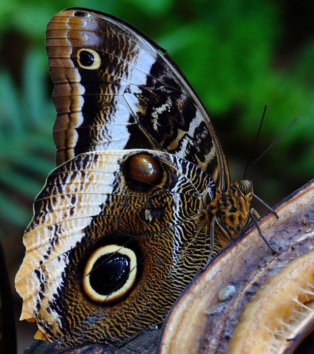 butterfly feeding on banana - Preus Photography
