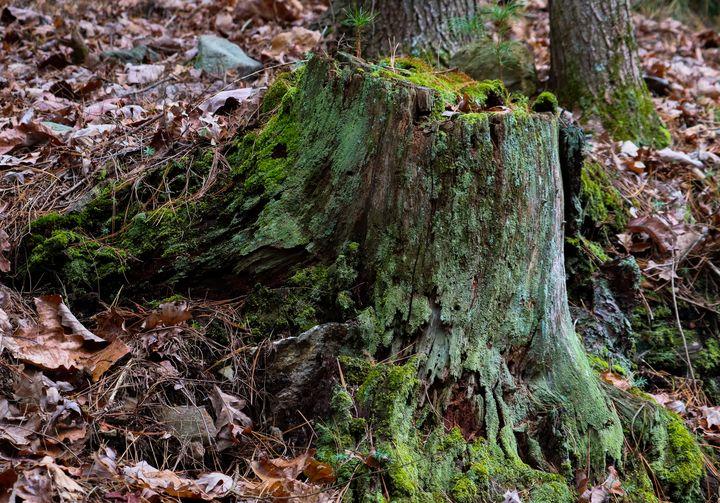 tree stump - Preus Photography
