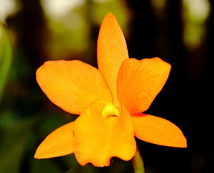 orange orchid - Preus Photography