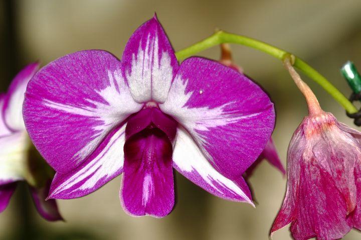 violet orchid - Preus Photography