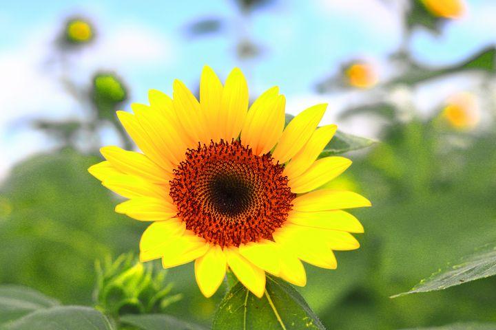 sunflower - Preus Photography