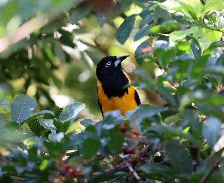 Baltimore Oriole bird - Preus Photography