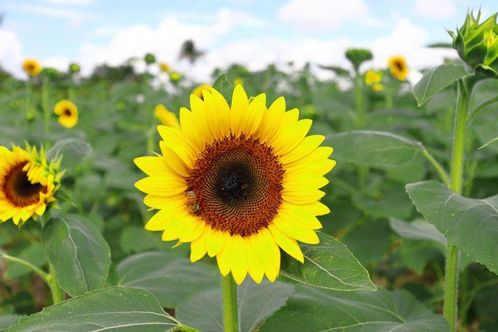 bee on sunflower - Preus Photography