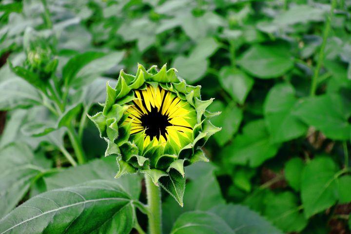 sunflower bud - Preus Photography