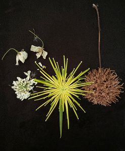 seedpods and papyrus