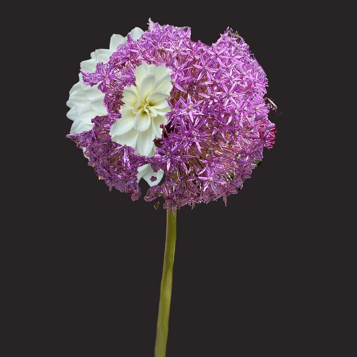 Allium - Jocelyn Chemel