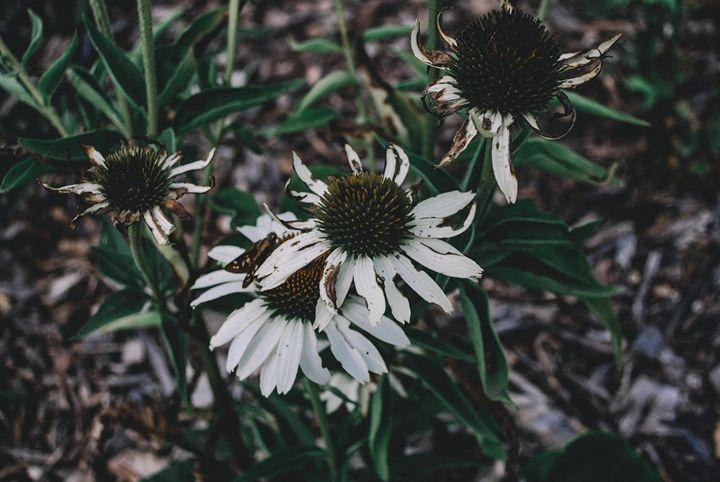 Daisy death bed - Photography