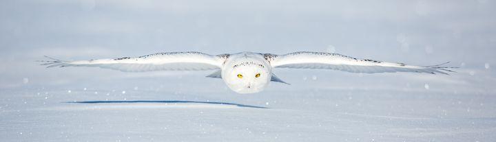 Snowy Owl Glide Path - James Netz Photography