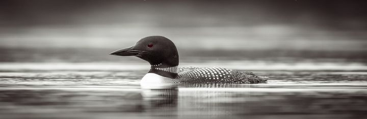 Tranquil Loon - James Netz Photography