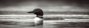 Tranquil Loon