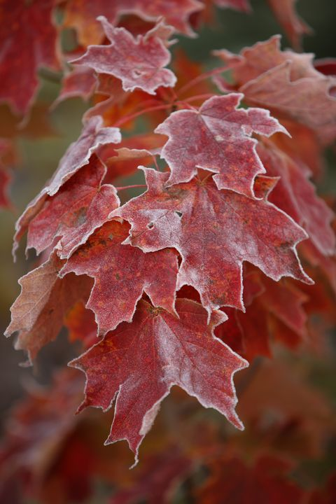 Frosted Maple - James Netz Photography