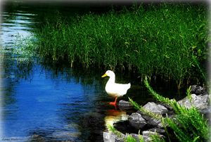 White Duck Standing on Rock