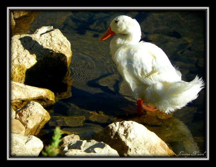 Duck on Rock - Latanya Maples Art
