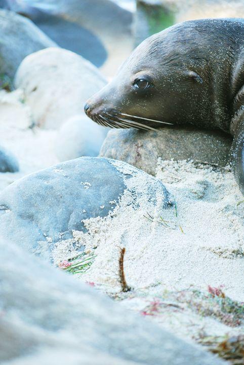 Sea Lion peace - Alyssa Evans