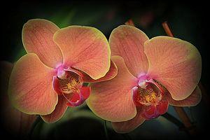 Orange burnt Orchids