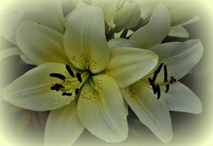Delicate White Lilies