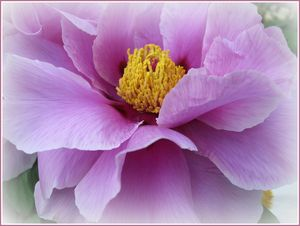 Peony Lovely in Lavender