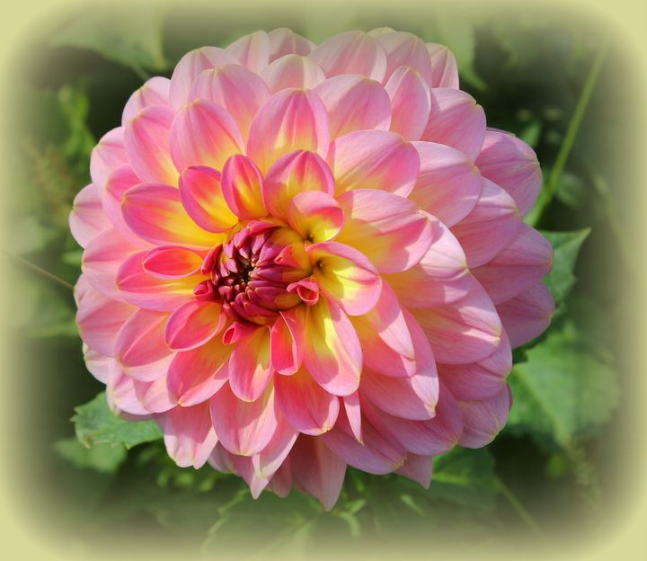 Dahlia Radiant in Pink and Gold - Photography Art and Design by Dora Sofia